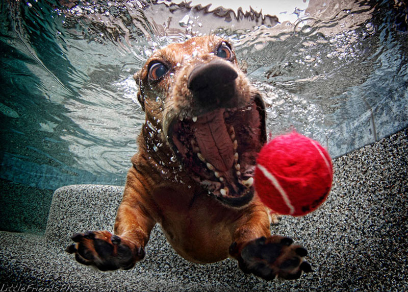 photo of dog underwater foster dachshund 6years 10 Hilarious Portraits of Dogs Underwater