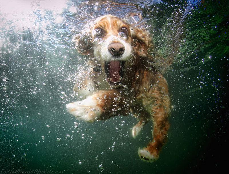 photo of dog underwater oshi cockerspaniel 6years 10 Hilarious Portraits of Dogs Underwater