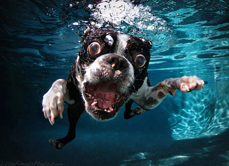 photo of dog underwater rocco bostonterrier 7years 10 Hilarious Portraits of Dogs Underwater