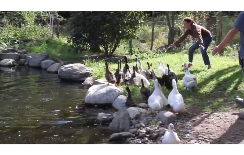 Rescued Ducks Swim For Their First Time Ever