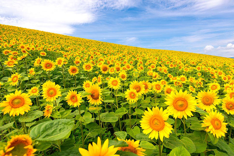 sunflower field daisetsuzan national park japan Picture of the Day: A Sea of Sunflowers in Japan