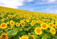 Picture of the Day: A Sea of Sunflowers in Japan