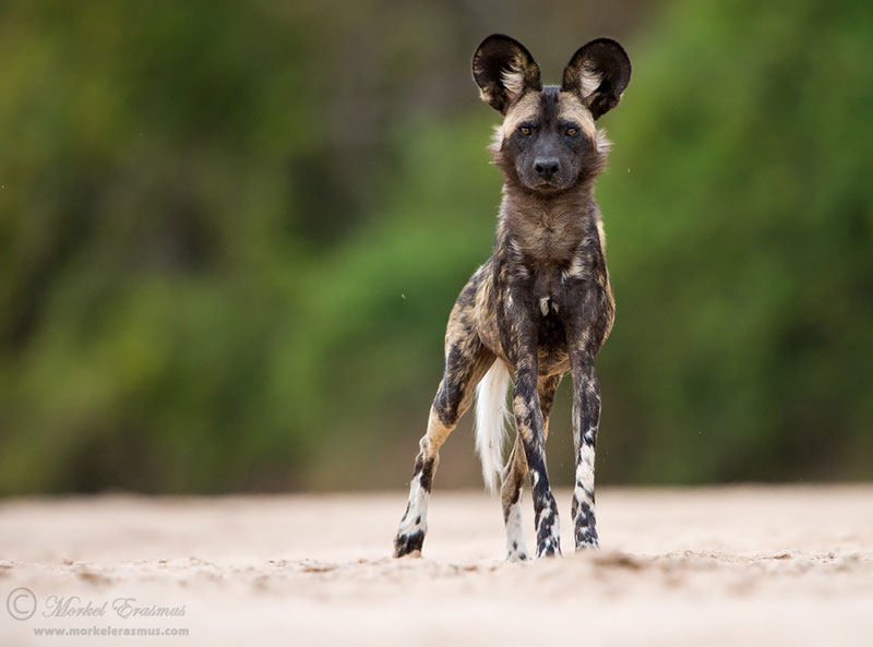 african wild dog lycaon pictus Picture of the Day: The African Wild Dog