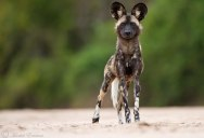 Picture of the Day: The African Wild Dog