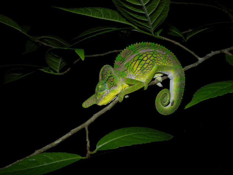 horned chameleon furcifer labordi 10 Things You Didnt Know About Chameleons