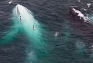 Picture of the Day: The White Whale
