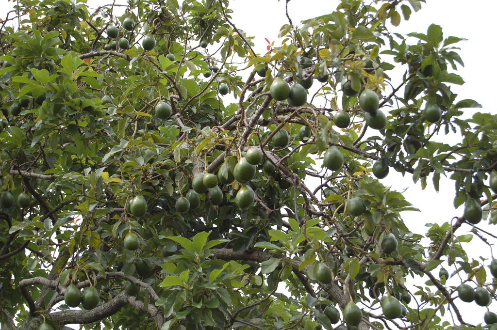 avocado tree close up