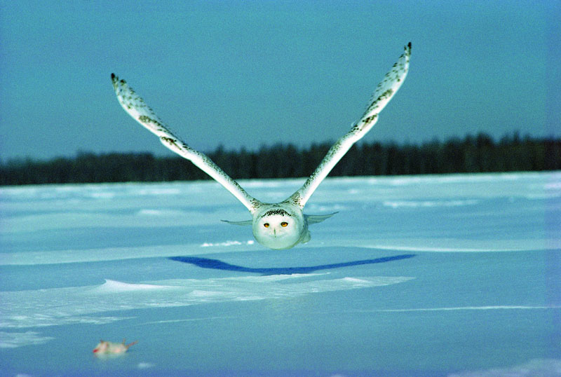 white snowy owl about to catch a mouse (2)