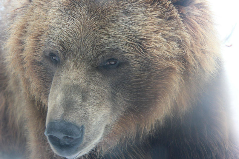 close up of brown grizzly bear at columbus zoo Picture of the Day: Bear With Me