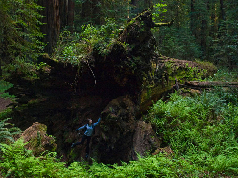 inside fallen redwood tree avenue of the giants california Picture of the Day: Inside a Fallen Giant