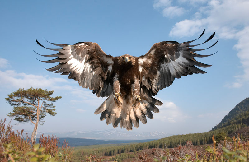 golden eagle wings spread landing pater cairns northshots Picture of the Day: The Golden Eagle