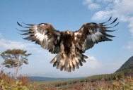 Picture of the Day: The Golden Eagle