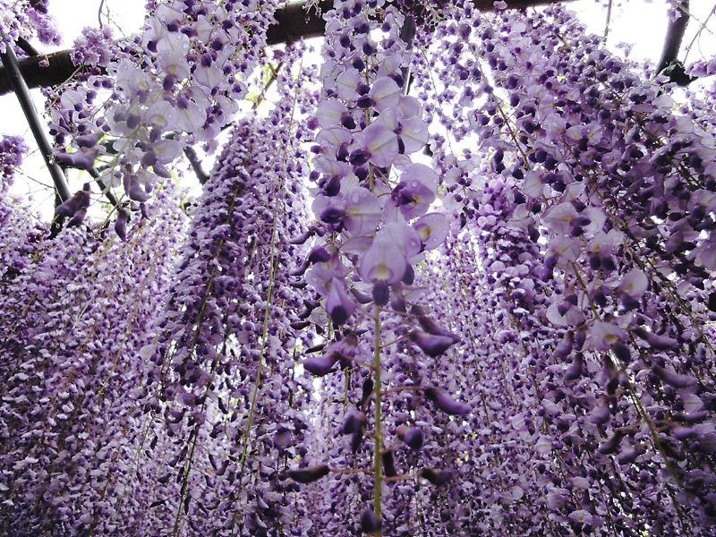 kawachi fuji garden kitakyushu japan wisteria (2)