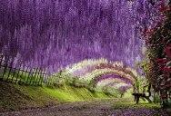 The Wisteria Flower Tunnel at Kawachi Fuji Garden