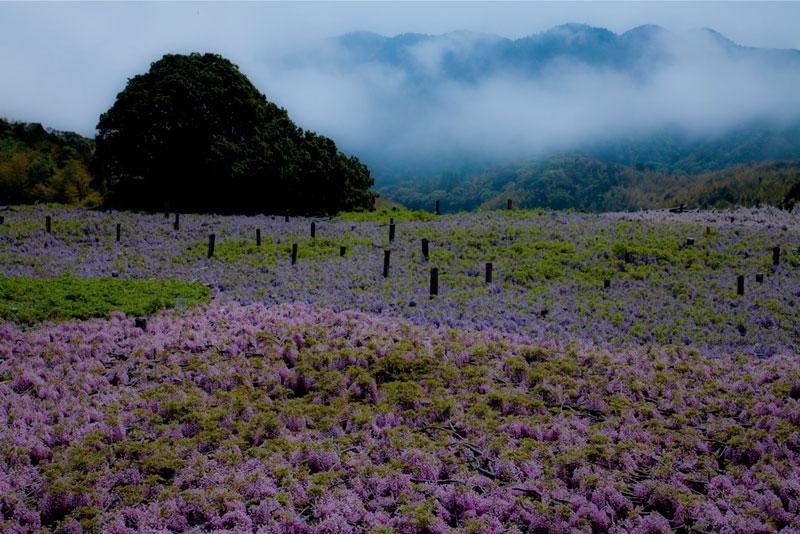 kawachi fuji garden wisteria tunnel kitakyushu japan (3)