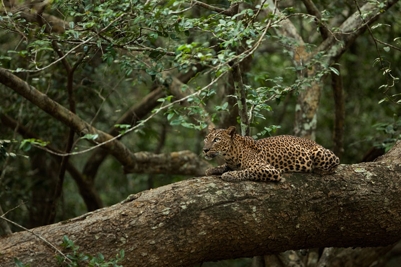 sir lankan leopard Picture of the Day: The Sri Lankan Leopard