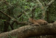 Picture of the Day: The Sri Lankan Leopard