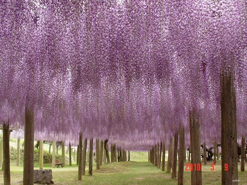 wisteria tunnel japan (3)