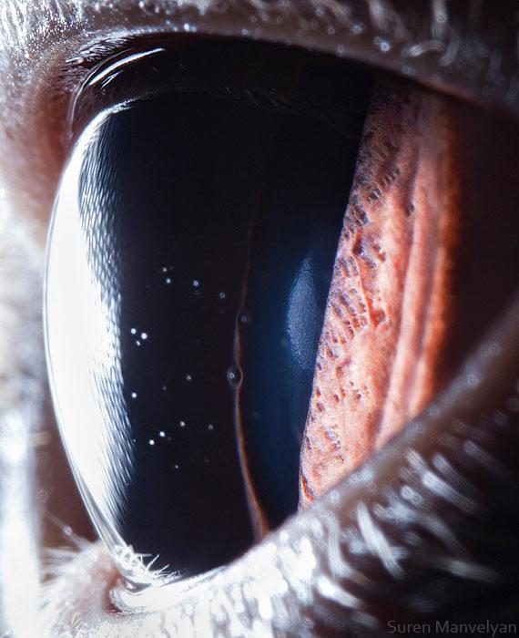 british shorthair cat close up of eye macro suren manvelyan 10 Detailed Close Ups of Animal Eyes