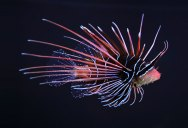 Picture of the Day: The Clearfin Lionfish