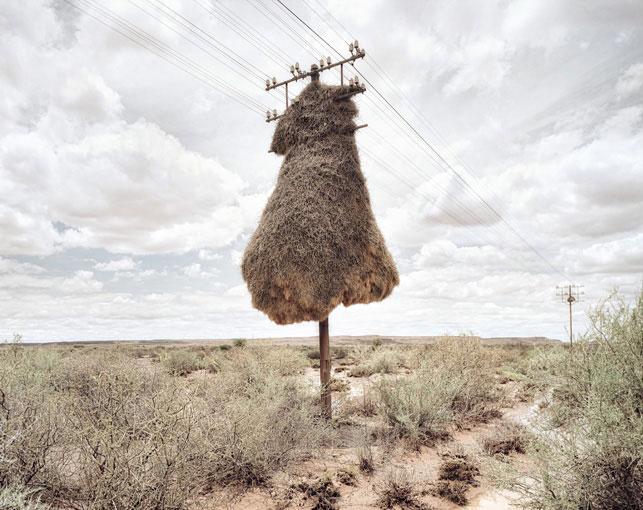 giant communal bird nests on telephone poles dillon marsh africa 1 12 Beautiful Photos of Waxwing Birds