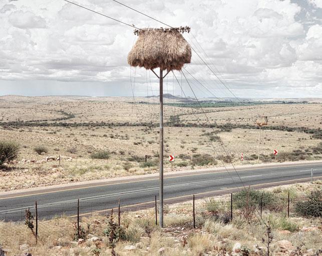 giant communal bird nests on telephone poles dillon marsh africa (4)