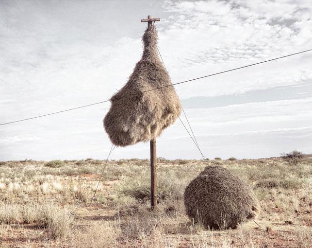 giant communal bird nests on telephone poles dillon marsh africa (6)
