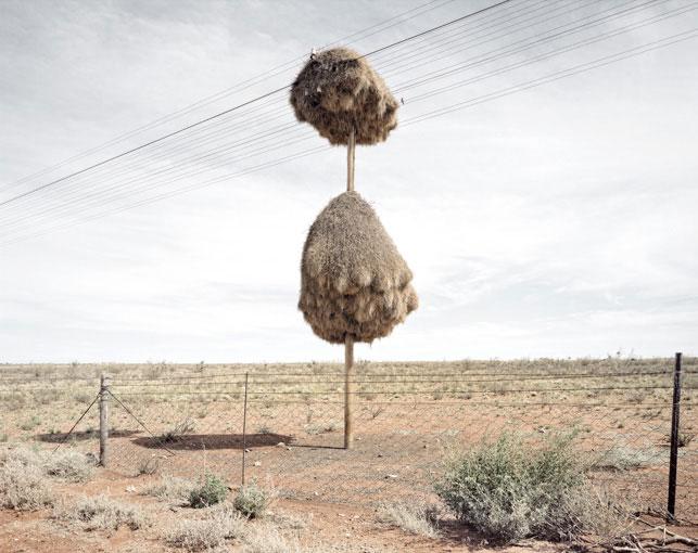 giant communal bird nests on telephone poles dillon marsh africa (7)