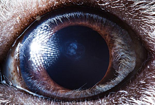 guinea pig close up of eye macro suren manvelyan 10 Detailed Close Ups of Animal Eyes