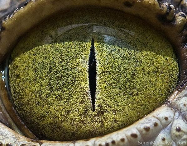 nylus crocodile close up of eye macro suren manvelyan 10 Detailed Close Ups of Animal Eyes
