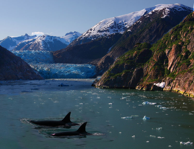 orcas killer whales surfacing in alsaka glacier Picture of the Day: Orcas in Alaska