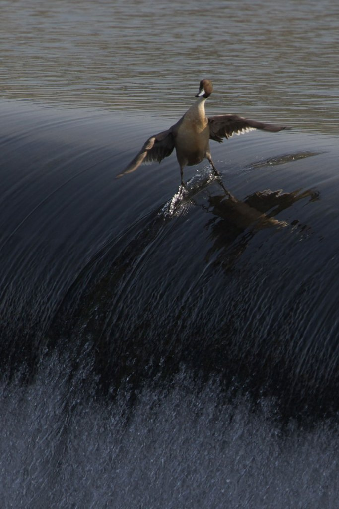 Picture of the Day: Coolest. Duck. Ever.