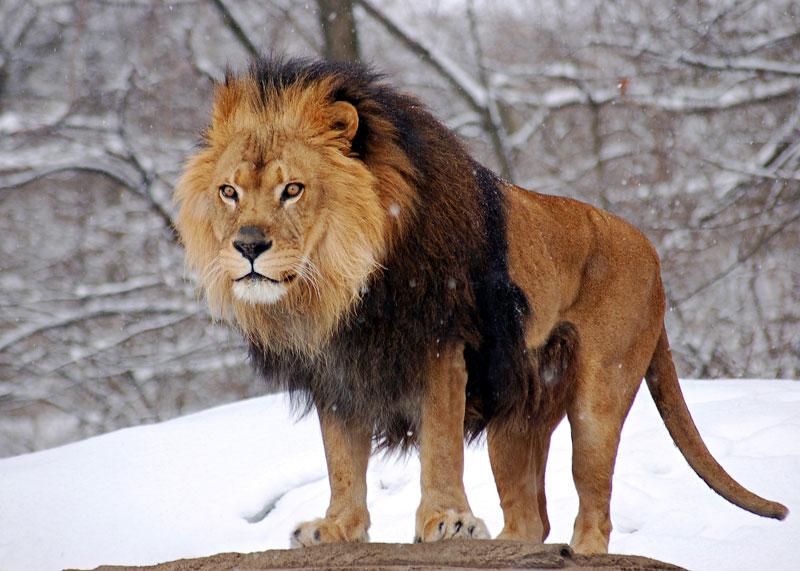 African_Lion_Panthera_leo_Male_portrait