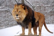 Picture of the Day: Panthera Leo