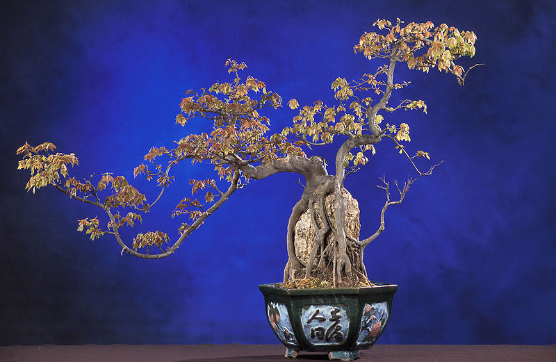 Bonsai Trident Maple root over rock