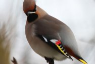 12 Beautiful Photos of Waxwing Birds