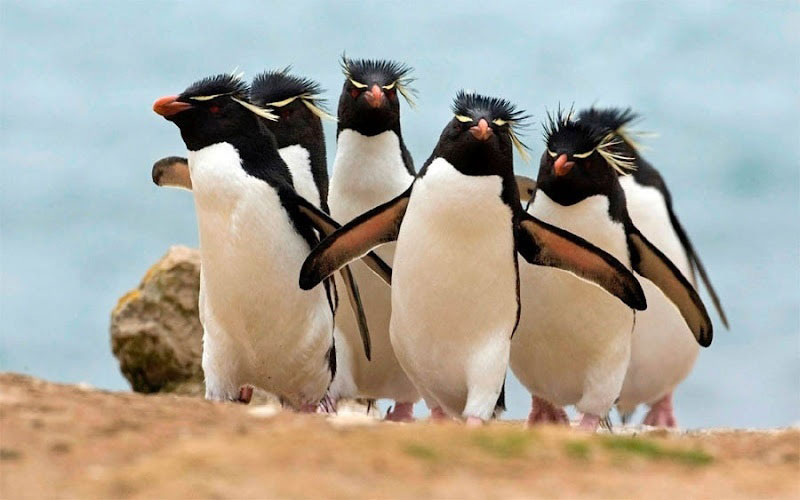 strutting come at me bro penguins The Shirk Report   Volume 208