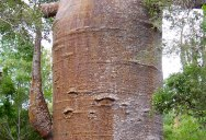 Picture of the Day: Thousand Year Old Baobab