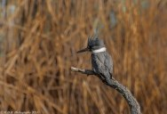 Picture of the Day: The Belted Kingfisher