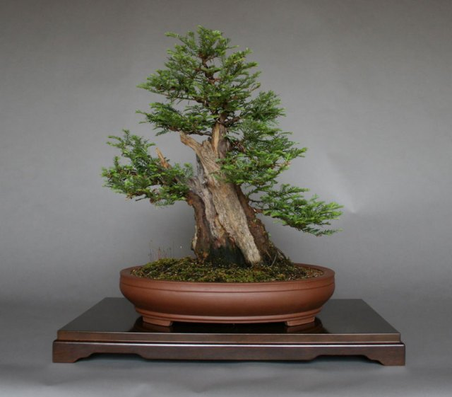 Bonsai Versions Of The World S Tallest Tree Twistedsifter