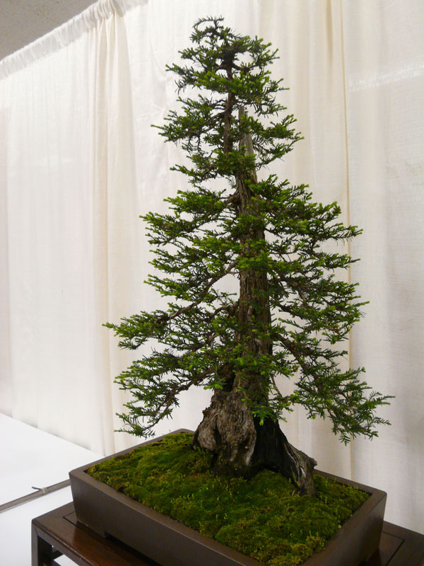 bonsai redwood tree (11)