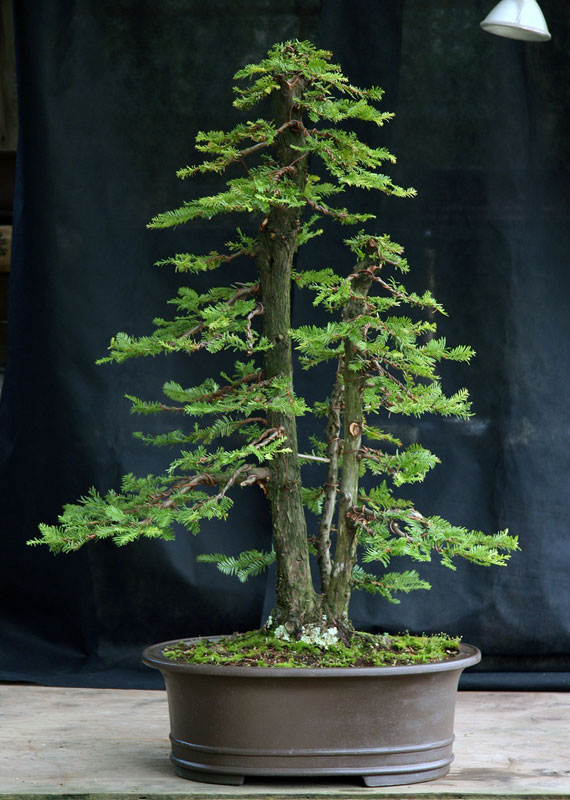 bonsai redwood tree (12)