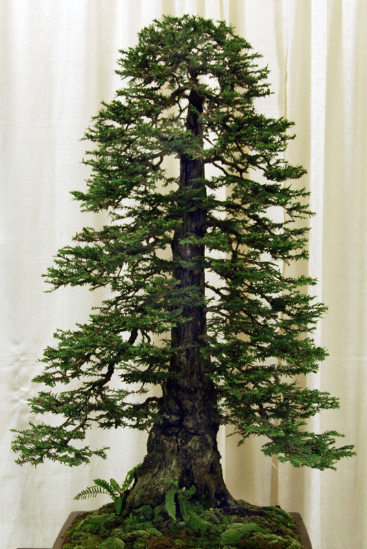 bonsai redwood tree (13)
