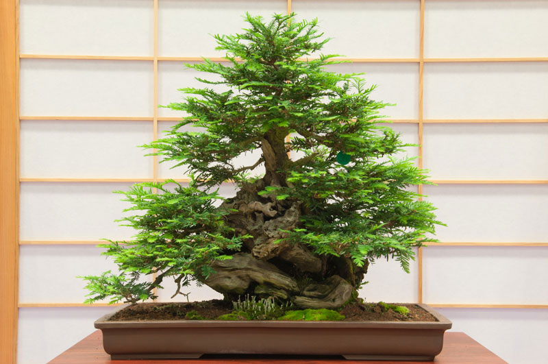 bonsai redwood tree (4)