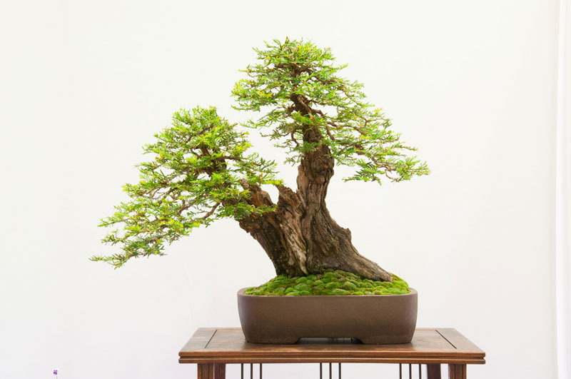 bonsai redwood tree (6)