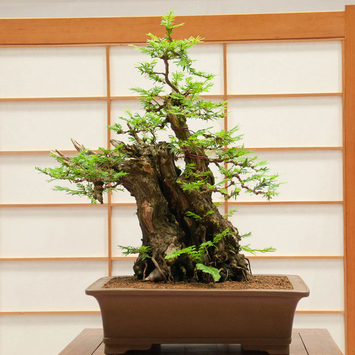 bonsai redwood tree (8)