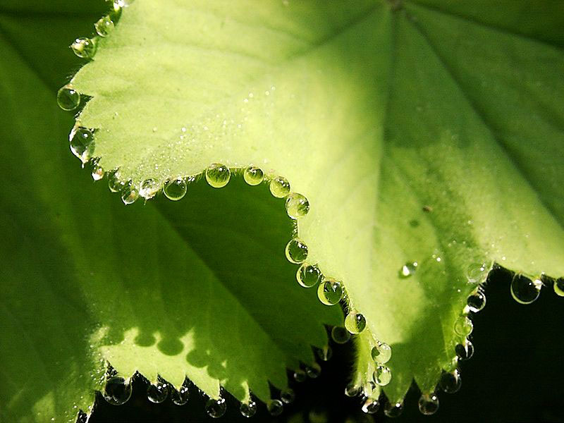 guttation droplets on leaves (1)