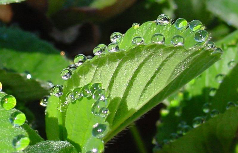 guttation droplets on leaves (4)