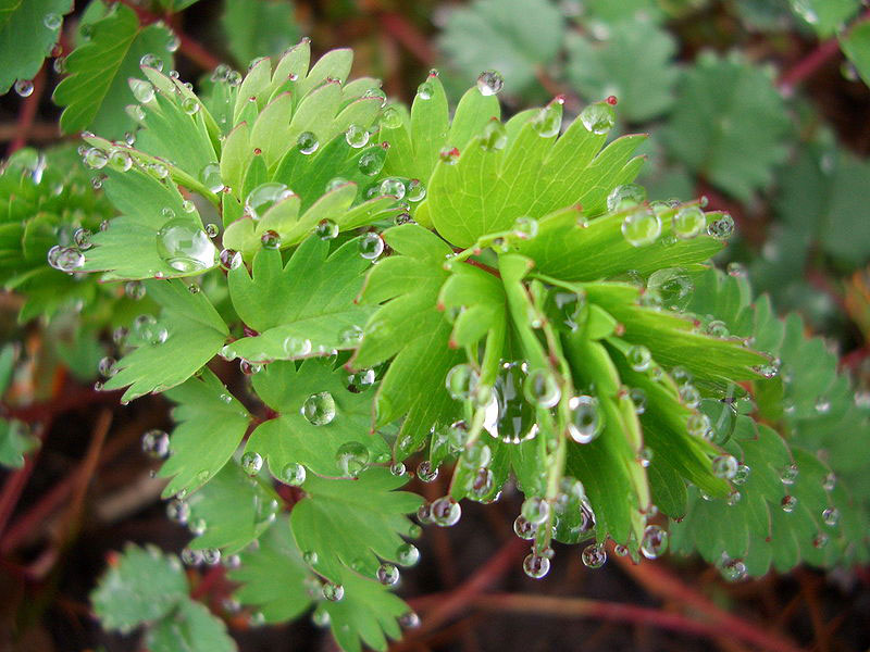 guttation droplets on leaves (6)