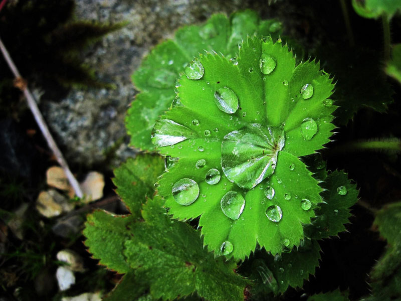 guttation droplets on leaves (9)